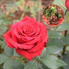 常州供应玫瑰花苗供应玫瑰苗图片