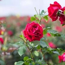 山東哪里有玫瑰花苗種植基地景鑫花卉種植圖片