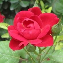 辽宁哪里有玫瑰花苗供应景鑫花卉种植玫瑰花苗图片