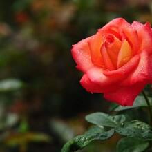 ub8优游注册专业评级网景鑫花卉玫瑰花苗价格玫瑰苗图片