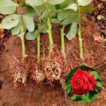 德州供應玫瑰花苗種植基地玫瑰苗圖片
