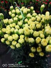 甘肃康乃馨苗种植园图片