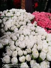 貴州康乃馨苗供貨商圖片