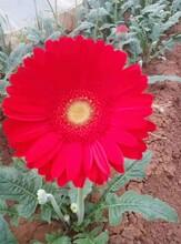 江西非洲菊苗种植园非洲菊扶郎花图片