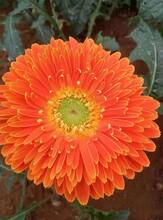 河南非洲菊苗批發非洲菊圖片