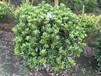 貴州海桐球種植