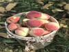 油蟠7-7桃樹苗成品、1公分桃苗、2公分桃樹苗、3公分桃樹