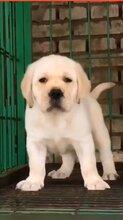 拉布拉多价格_拉布拉多犬多少钱一只_拉布拉多幼犬图片