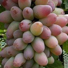 吉林出售葡萄苗、吉林出售蜜汁葡萄苗、長春出售藤引葡萄苗、四平出售茉莉香葡萄苗圖片