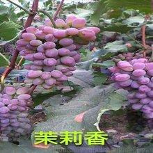 吉林葡萄苗报价吉林出售着色香葡萄苗图片