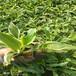 紫玉簪白花玉簪金边玉簪种植基地耐寒耐阴花卉白鹤仙盆栽多芽花苗