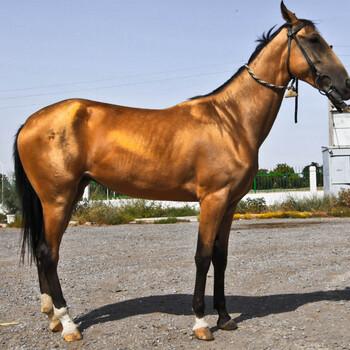 马匹的寿命是多少年,最新山东马匹交易价格