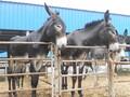 德州驴成年种驴价格大概多少钱一头,母驴多大发情图片