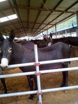 肉驴苗价格