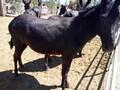 乌头驴种驴价格大概多少钱一头,养驴赚钱还是养牛赚钱图片