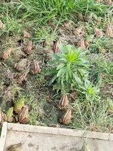 益阳黑斑蛙种苗长沙岳阳常德张家界郴州永州怀化青蛙养殖基地技术指导图片