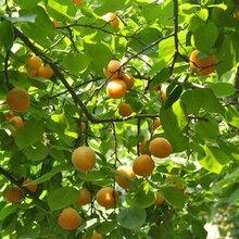 银杏树苗批发价格图片