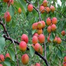 平頂山杏樹苗價格現貨供應圖片