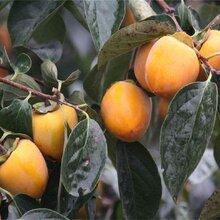 柿子苗批發價格圖片
