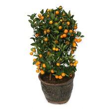 周口盆栽金桔苗價格圖片