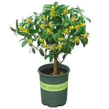 三亞桂花樹價格圖片