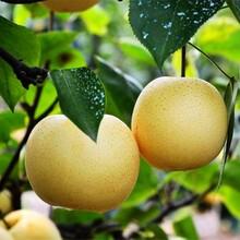 辽宁绿宝石梨树苗红香酥梨树苗品种隧道图片