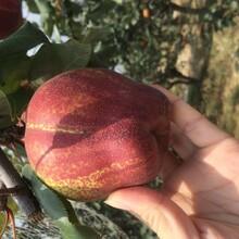 甘肃秋月梨树苗红香酥梨树苗货源舆图片
