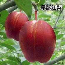 湖南皇冠梨树苗绿宝石梨树苗品种隧道图片