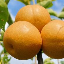 山西晚秋黄梨梨树苗一公分梨树苗种子批发图片