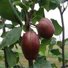 吉林黄金梨树苗红香酥梨树苗种植前景如何图片