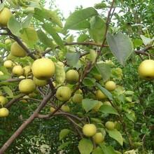 河北皇冠梨树苗红香酥梨树苗易成活图片