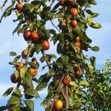 辽宁玉露香梨树苗一公分梨树苗自制梨树苗图片