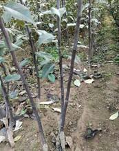 辽宁早红考姑娘梨树苗一公分梨树苗保品种纯度图片