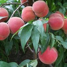 江苏仓方早生桃树苗1米桃苗种植前景如何图片