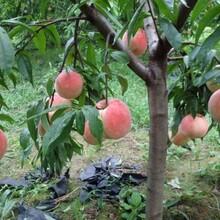 辽宁仓方早生桃树苗2公分桃苗品种纯正图片