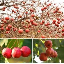 安徽山楂种子价格山楂苗品种基地包结果图片