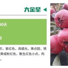 重庆嫁接山楂苗价格1.5米高山楂苗易成活图片
