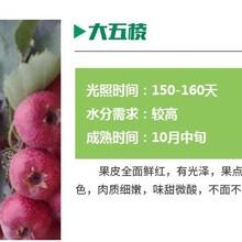 贵州嫁接山楂苗价格山楂苗品种基地好管理图片