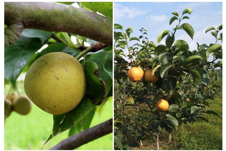 梨树苗新品种哪里有1.5米梨树苗量大优惠