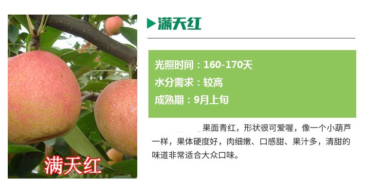 早红考密斯梨树苗2公分梨树苗基地包邮寄