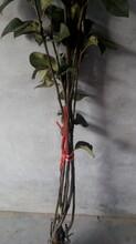 梨树苗种子批发1米梨树苗便宜梨树苗多少钱一棵图片