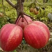 嫁接梨树苗哪里有秋月梨树苗哪有卖的量大优惠图片