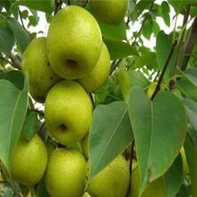 早红考密斯梨树苗1米梨树苗便宜梨树苗多少钱一棵图片