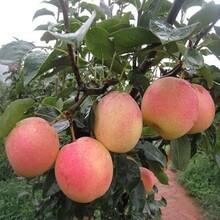 哪里有卖梨树苗的晚秋黄梨梨树苗批发梨树苗品种介绍图片