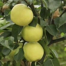 梨树苗种子批发1米梨树苗便宜包结果图片