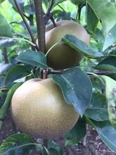 全红梨树苗哪里有1.5米梨树苗包结果图片