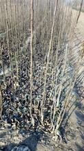 全红梨树苗哪里有3公分梨树苗价格绿宝石梨树苗价格图片