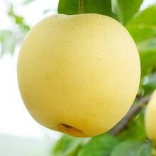 梨树苗种子批发2公分梨树苗基地梨树苗哪些品种好图片