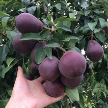 梨树实生苗价格秋月梨树苗哪有卖的红香酥梨树苗基地图片
