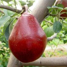 梨树苗新品种哪里有3公分梨树苗价格量大优惠图片